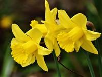 Thriplow Daffodils