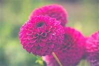 The Black Forest Chrysanthemum Festival